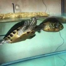 Migliori acquari per tartarughe d'acqua: recensioni, offerte, scegli il migliore!
