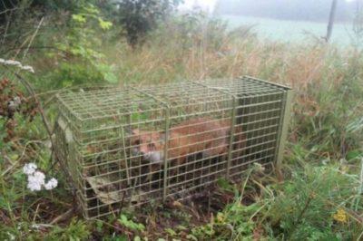 sconto gabbie per volpi